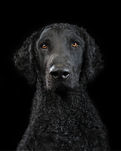 Black on black - Studio portrait of LEO the Curly Coated Retriever