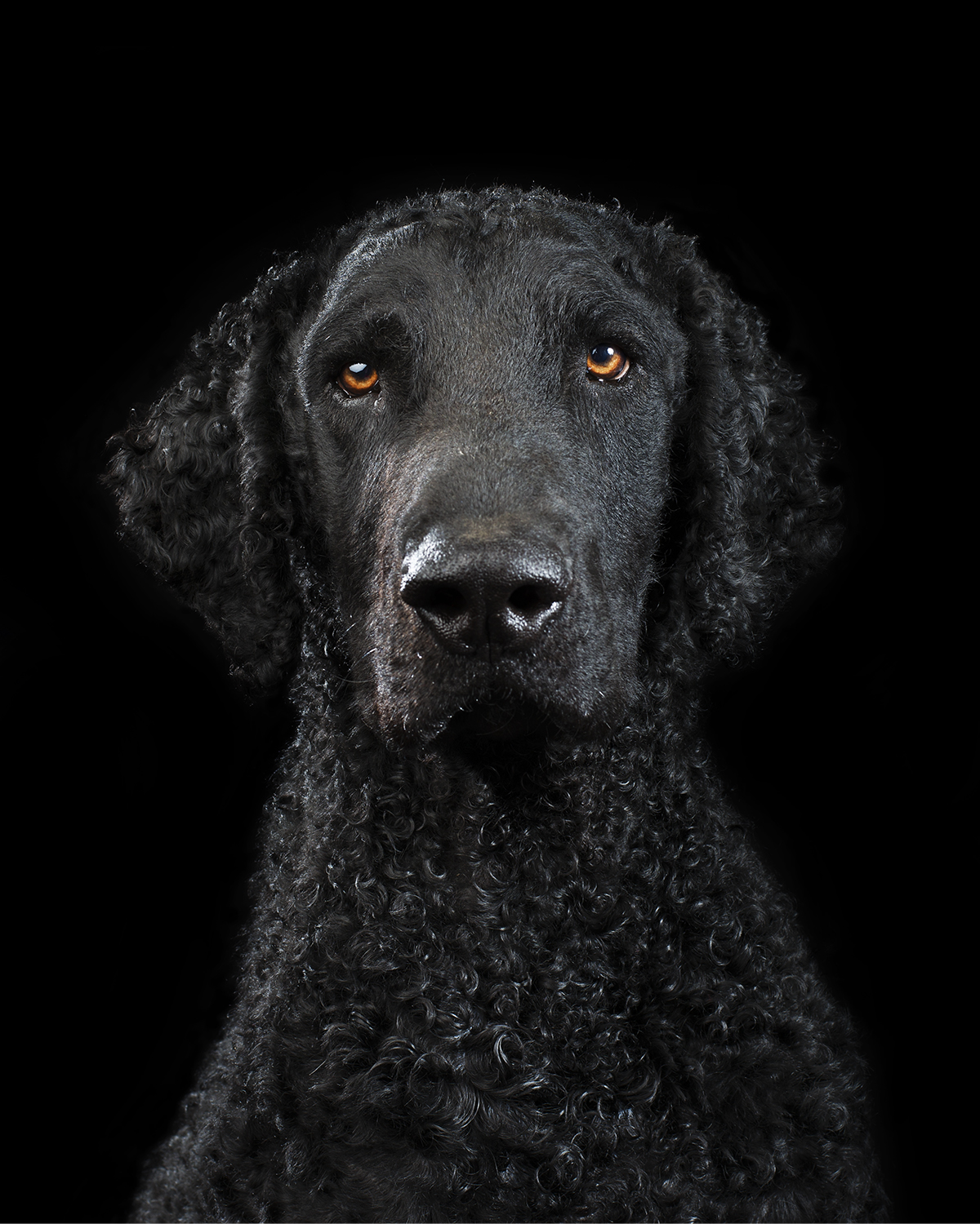 Black on black - Studio portrait of LEO the Curly Coated Retriever