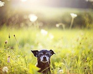 Seniorhunden